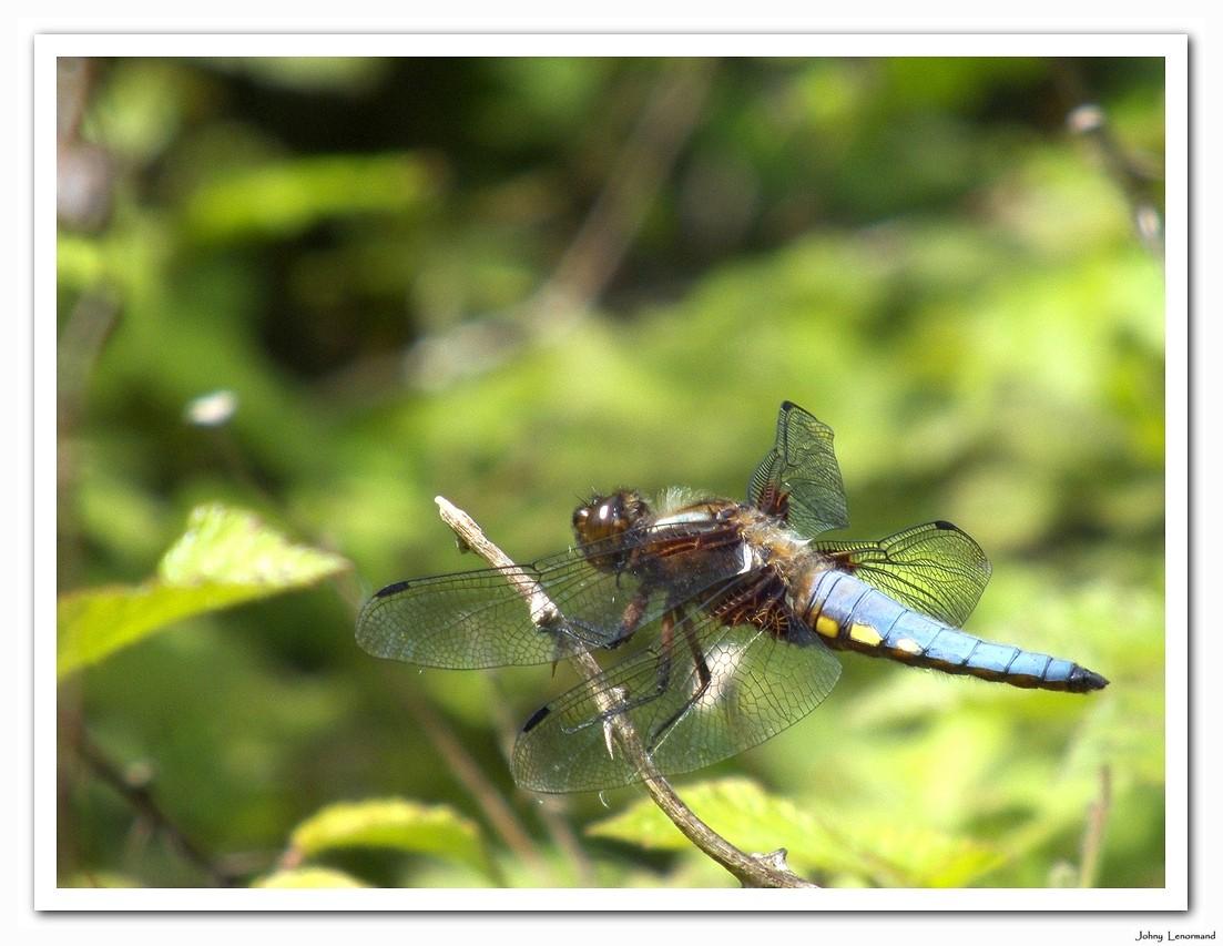 libellule déprimée mâle