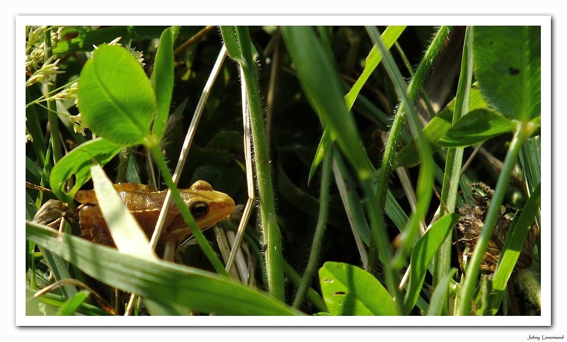 Grenouille dans les herbes