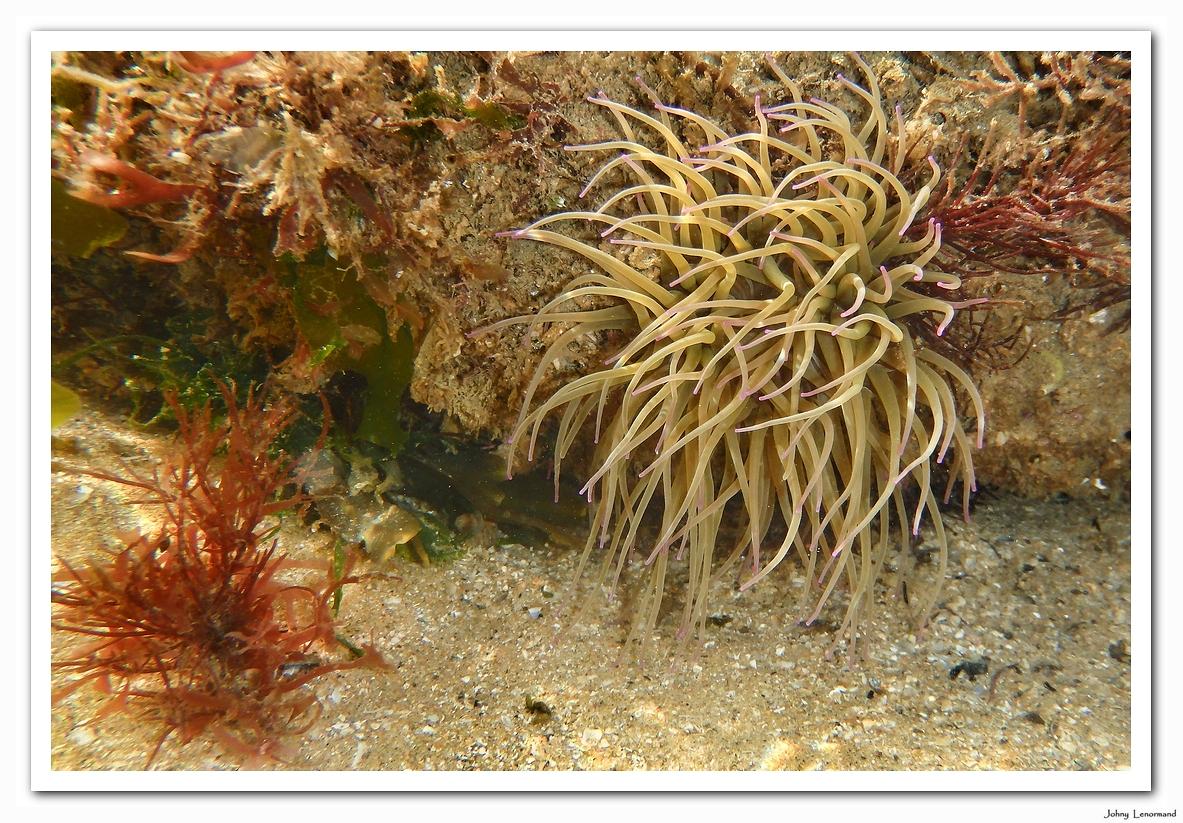 Anémone de mer au Veillon