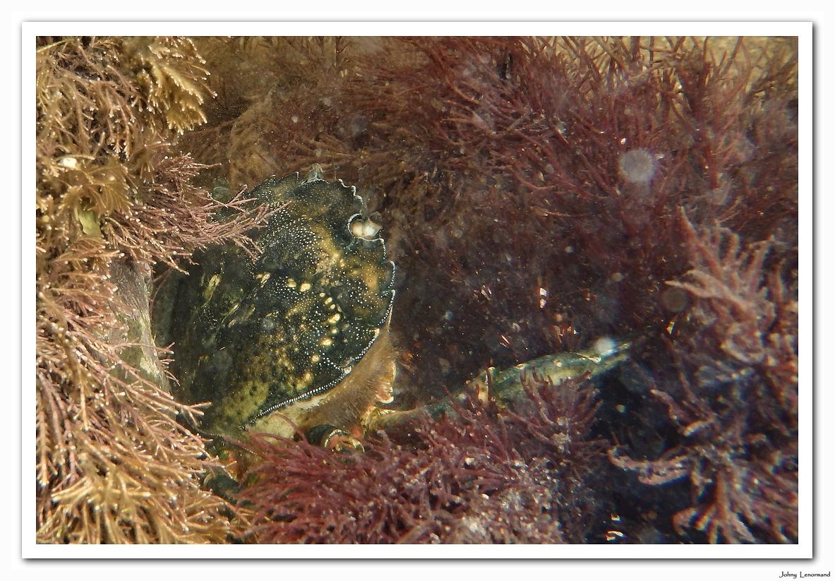 Crabe vert au Veillon