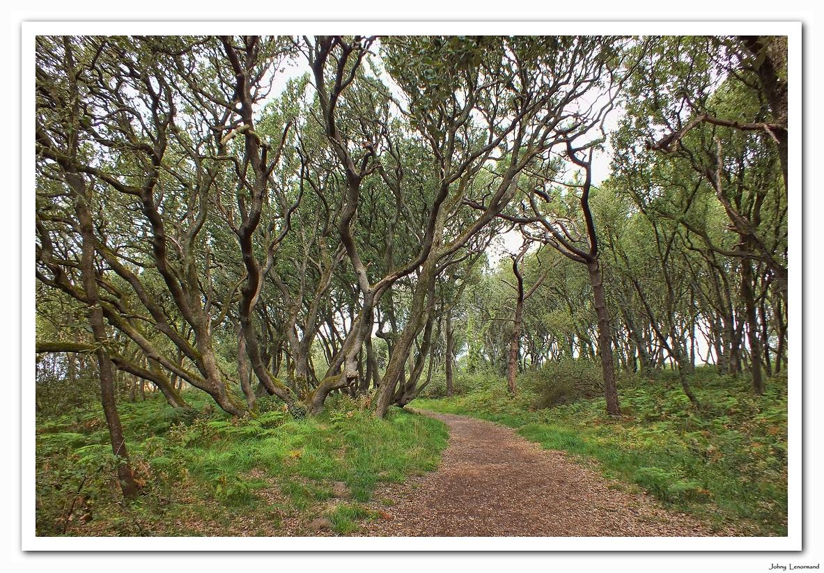 Chênes verts en forêt de Jard sur Mer