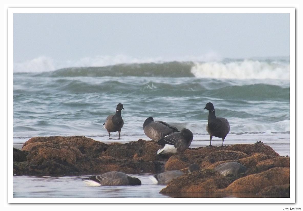 Bernaches sur la plage du Veillon
