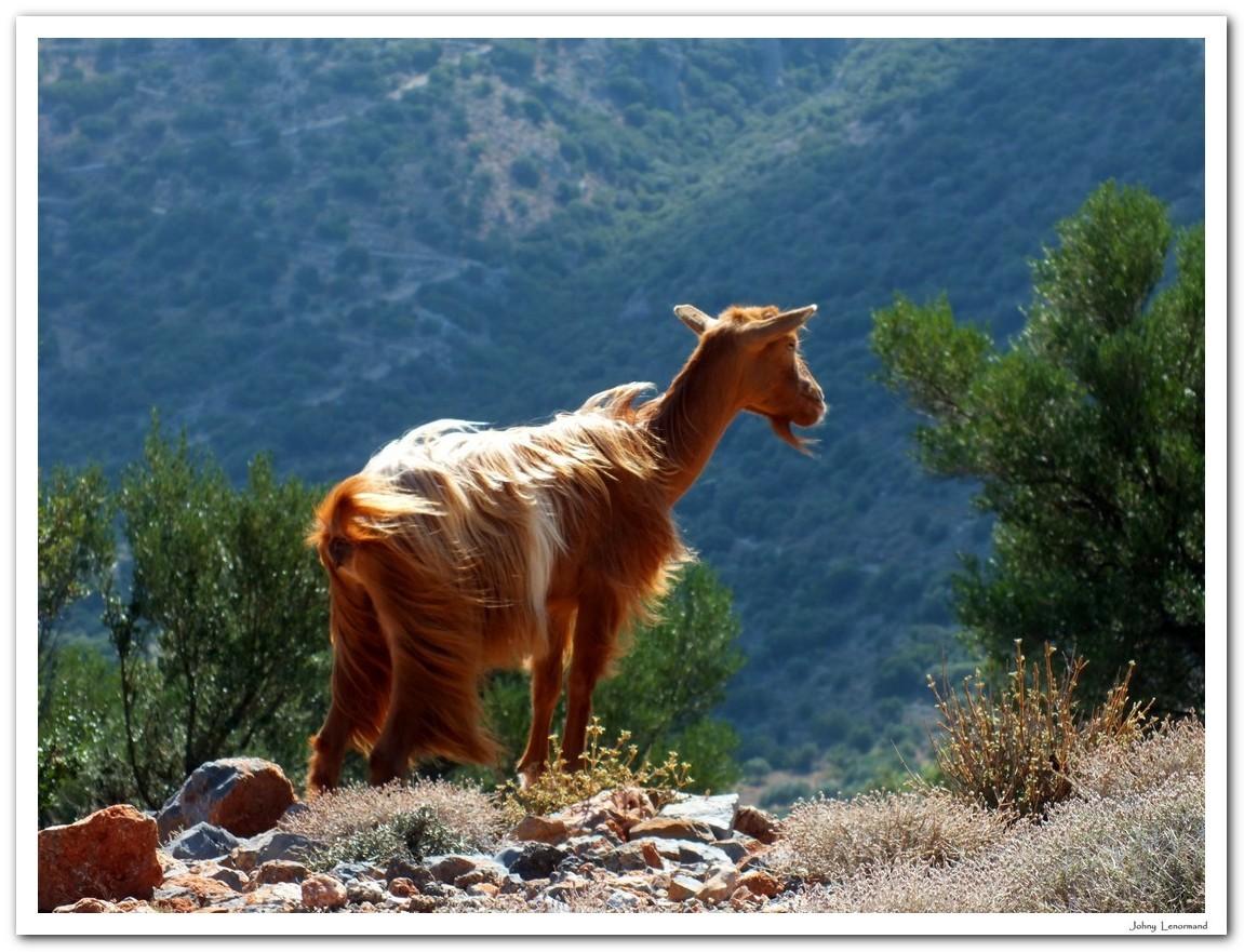 Chèvre en Crète