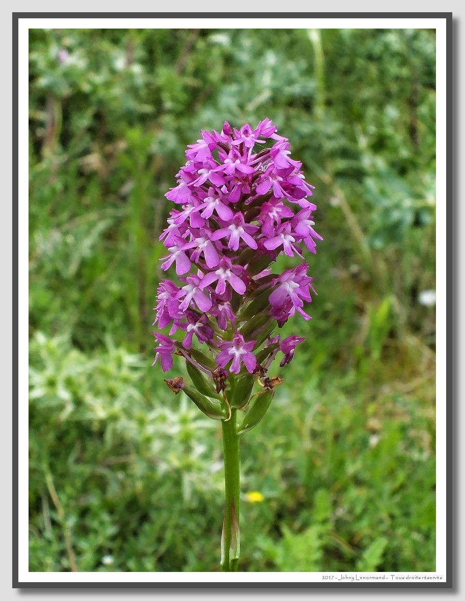 Orchis pyramidale