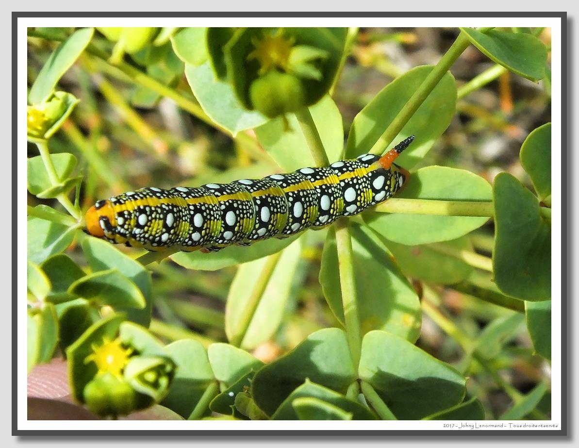 chenille de papillon