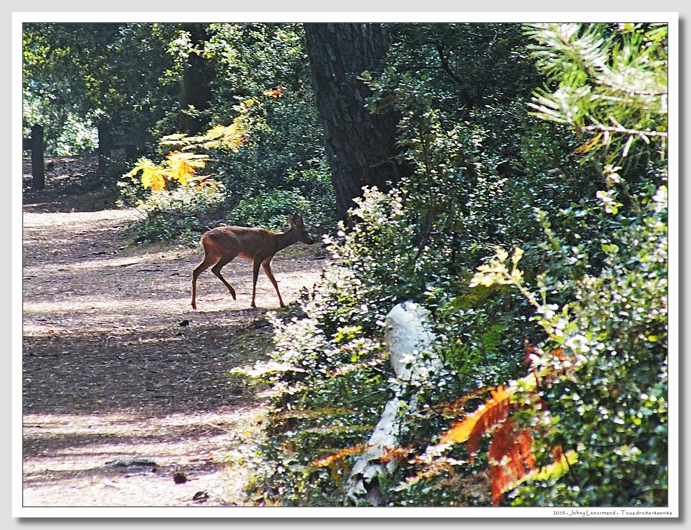 Chevreuil dans le bois du Veillon