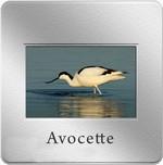 diapo_avocette