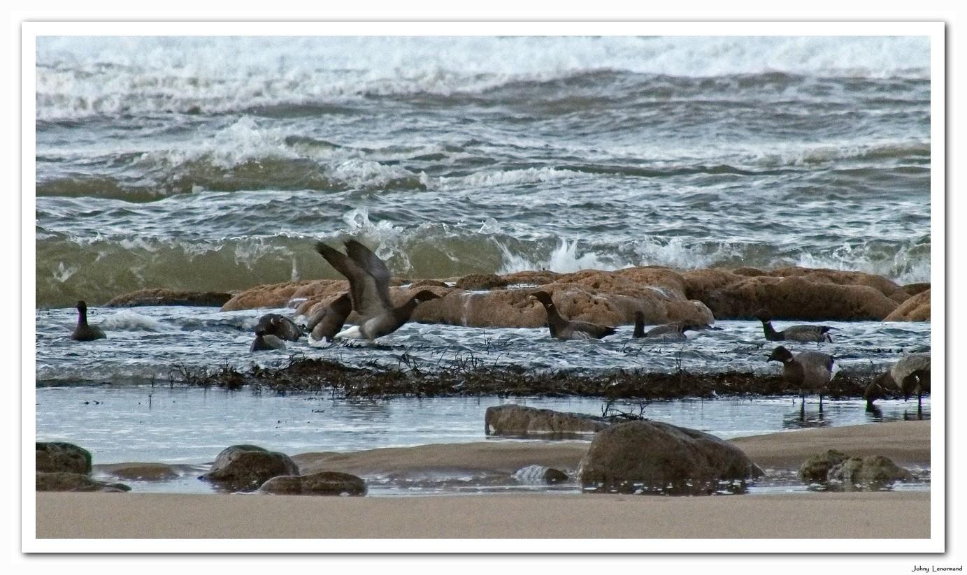 Bernaches sur la plage du Veillon en Vendée