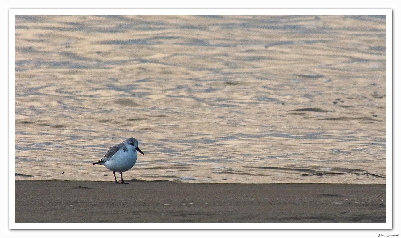 Bécasseau sanderling sur la plage du Veillon en Vendée