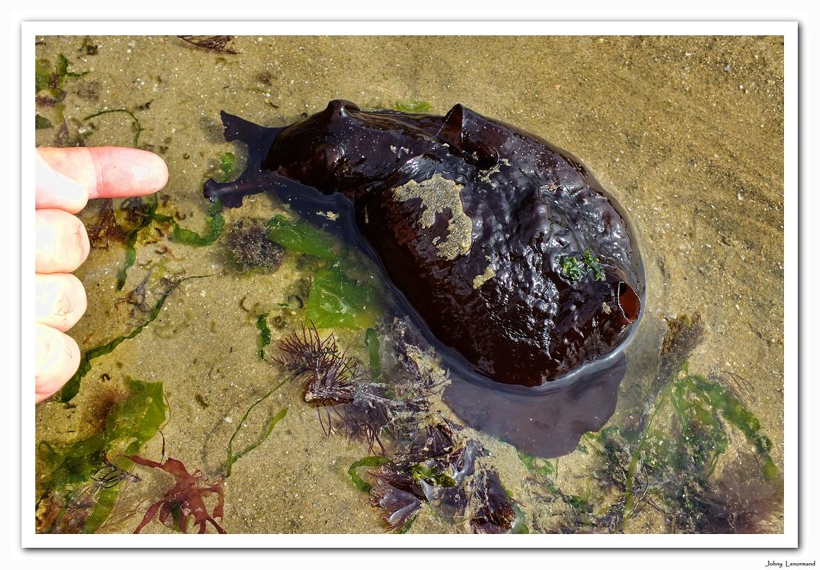 Lièvre de mer au Veillon