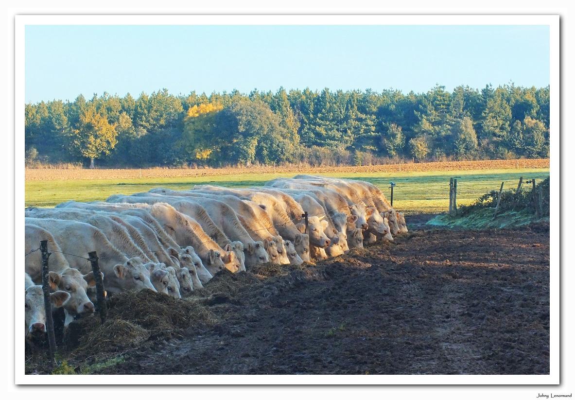 Elevage de bovins à Saint Hilaire la Forêt