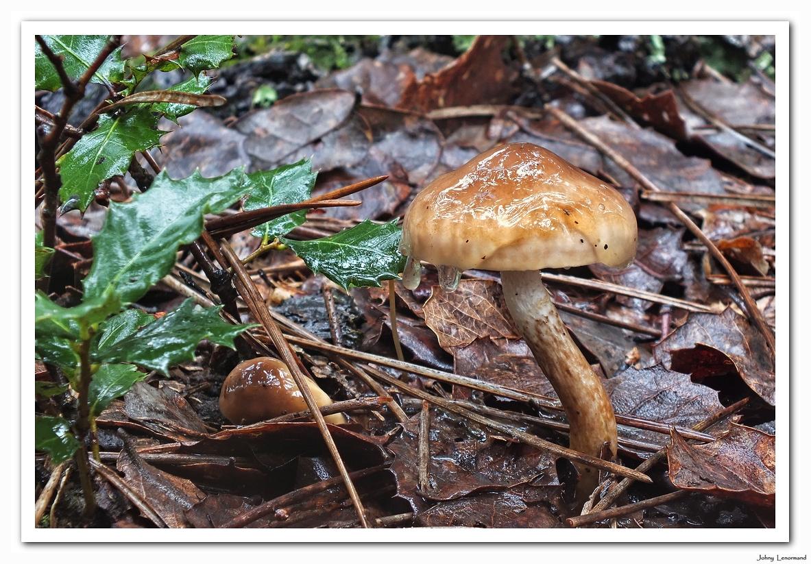 Champignon dans le bois du Veillon à Talmont, Vendée