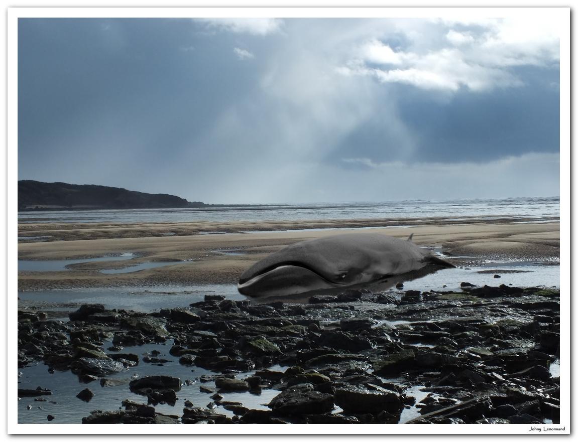 Baleine échouée au Veillon