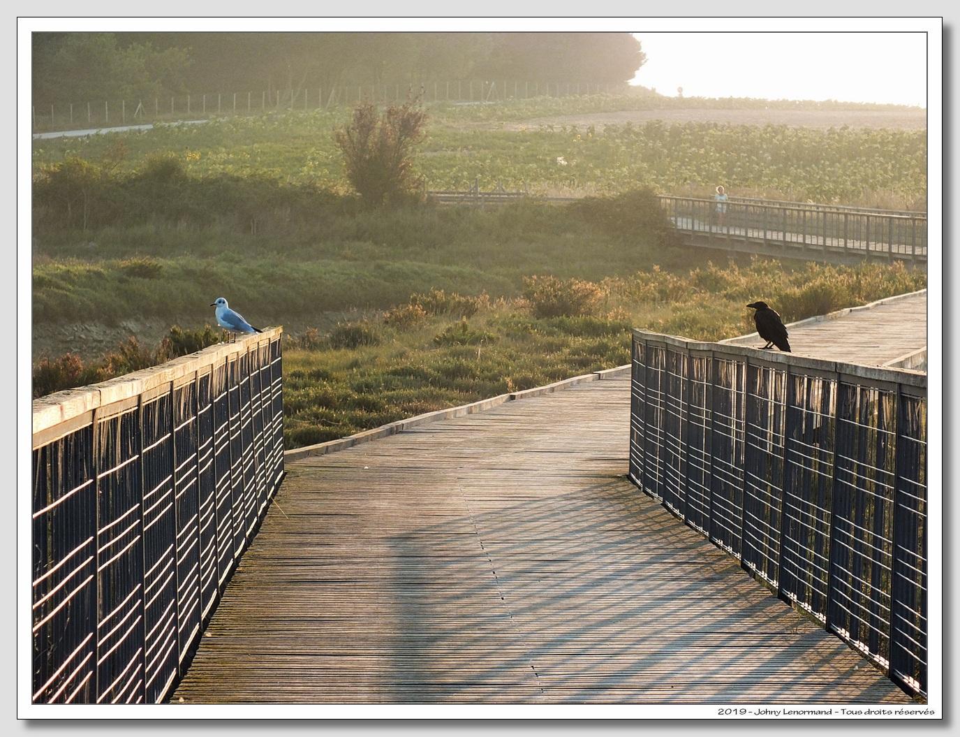 Mouette et corbeau sur la passerelle de Cul d'Âne