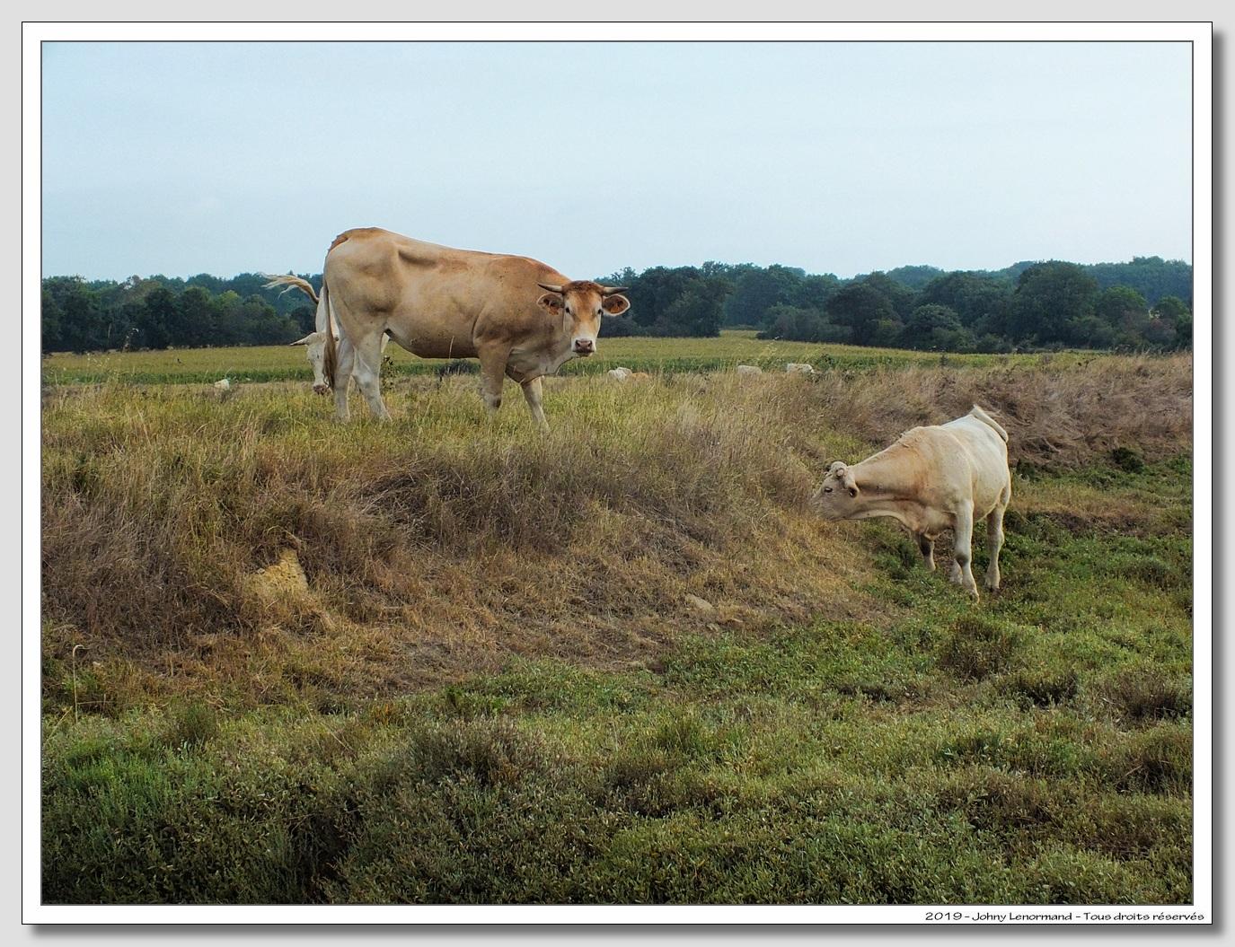 Vaches dans le marais du Treil