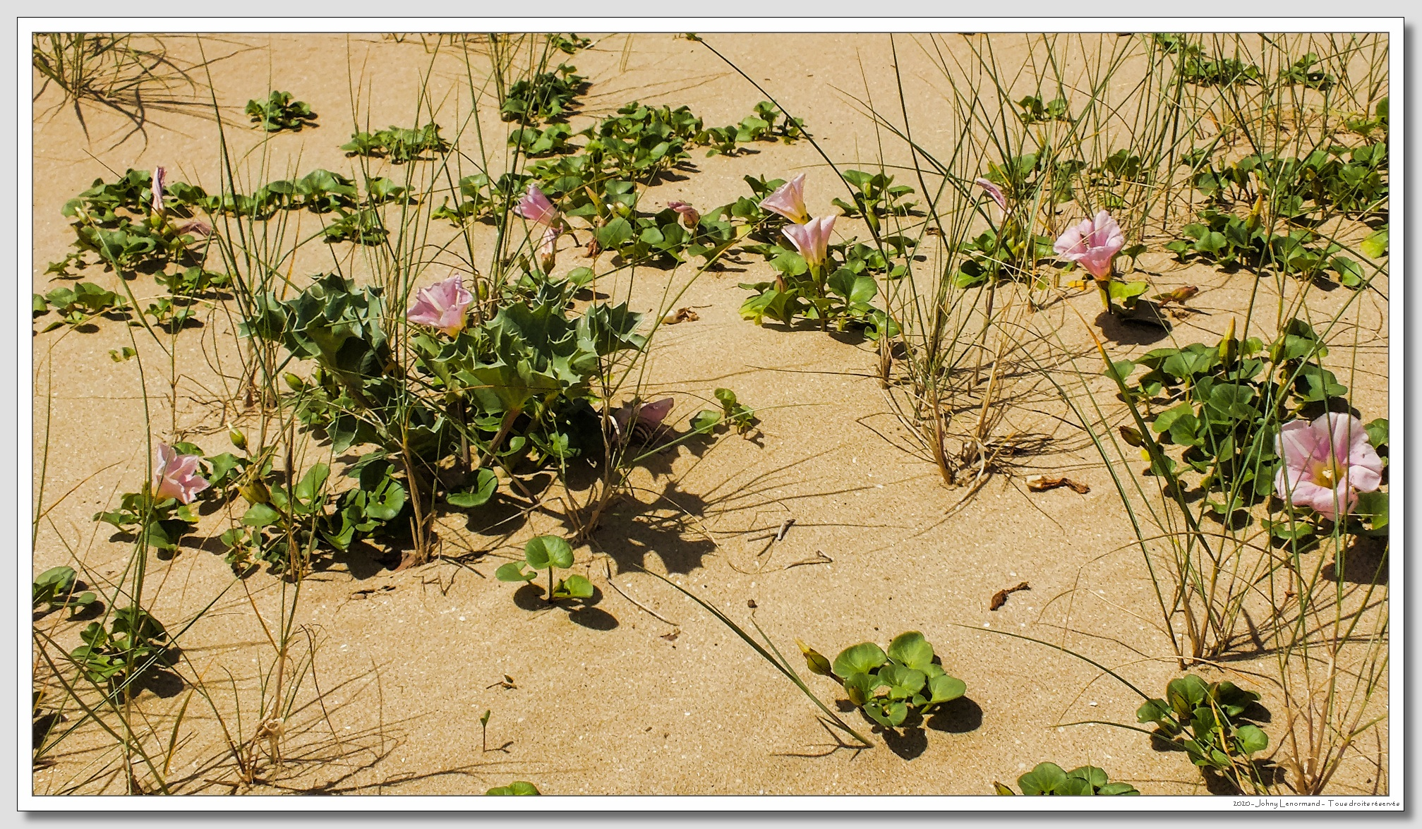 Liseron des dunes en bordure du Payré