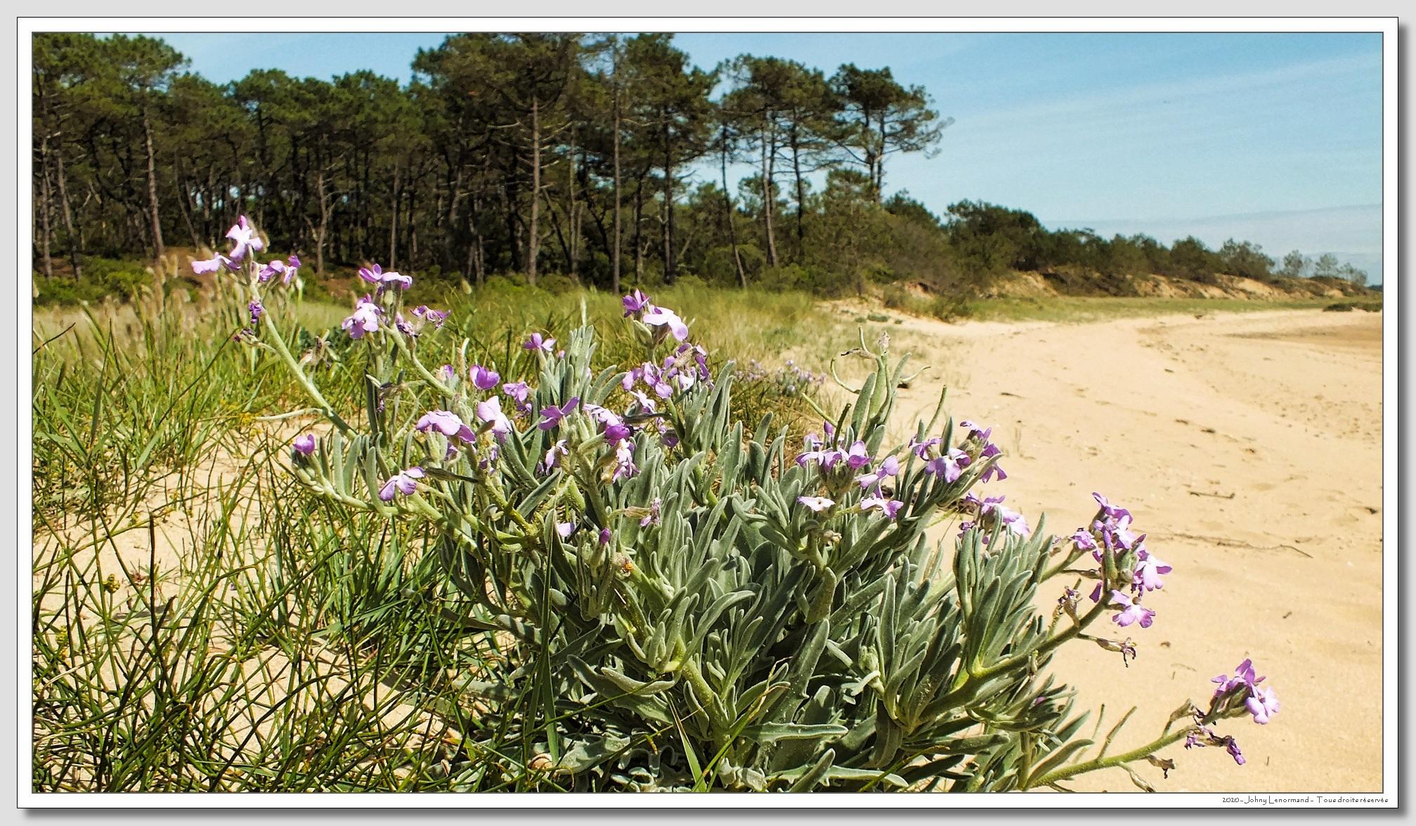 Giroflée des dunes en bordure du Payré