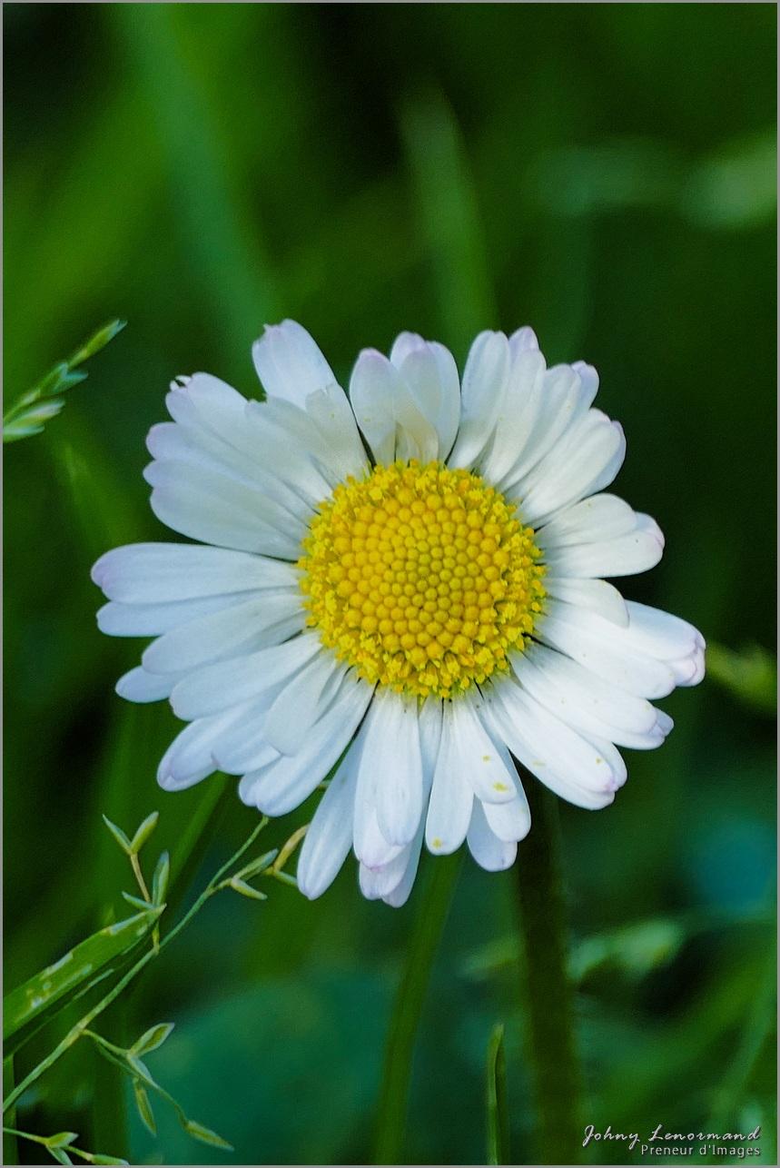 Fleur de paquerette