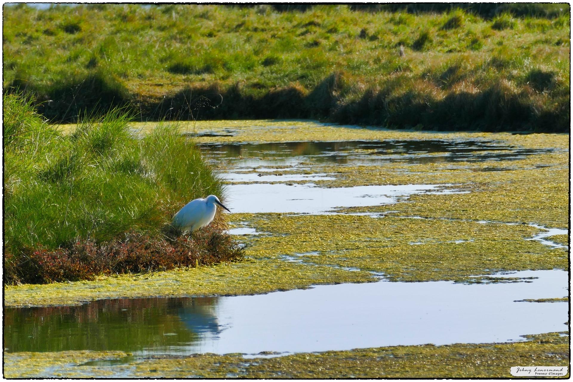 Aigrette dans le marais de l'Ile d'Olonne (Vendée)