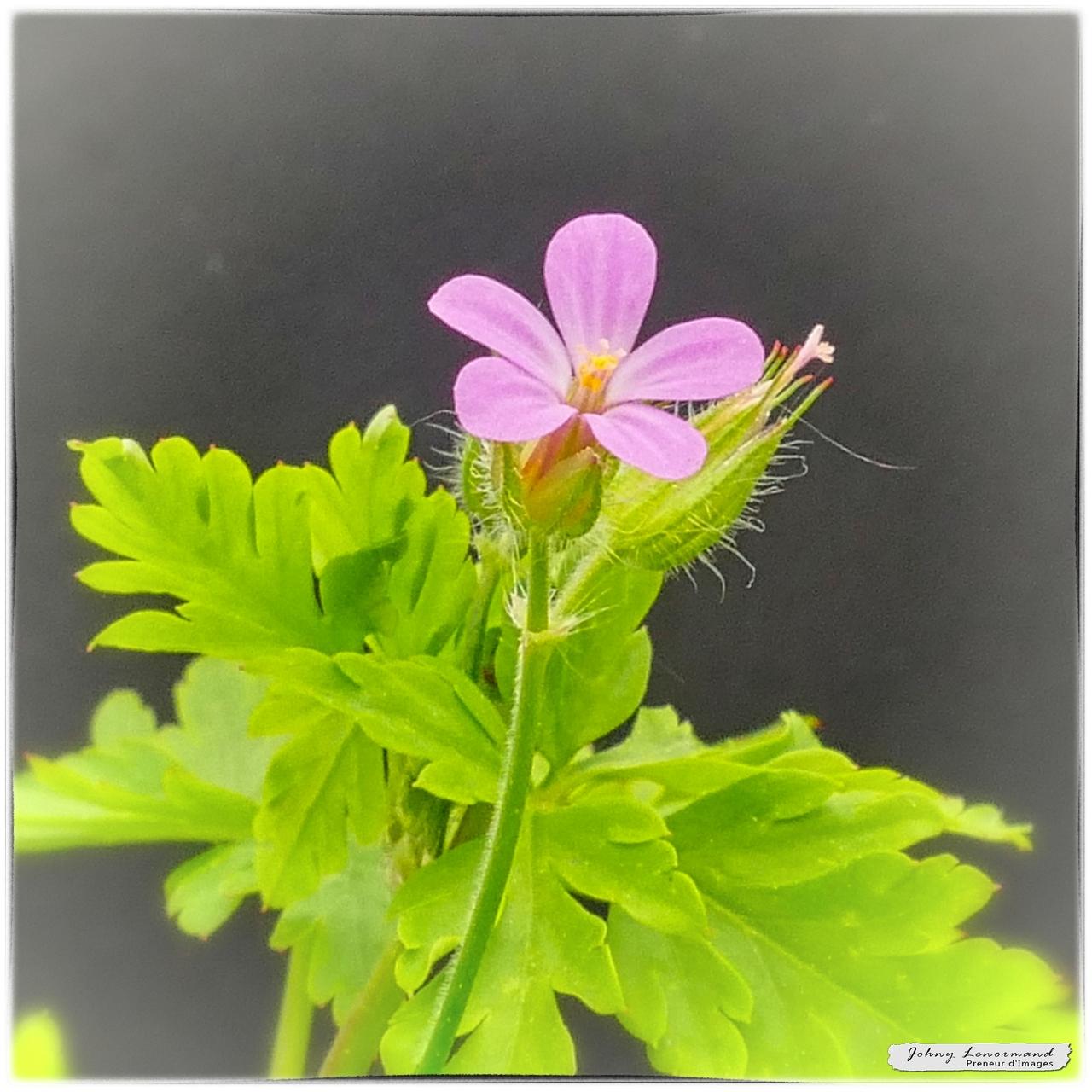 Fleur des prés